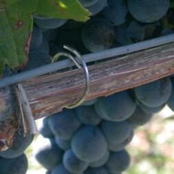 Atadoras para viñedos vid uva