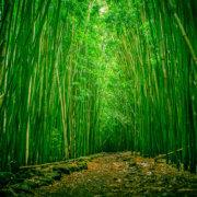 bambú bosque
