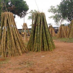 cañas bambu entutorado