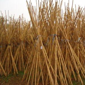 Cañas de bambú chino