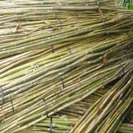 Inicio proceso bambú