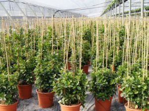 Tutores de caña de bambú chino